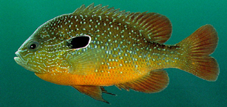 DollarSunfish