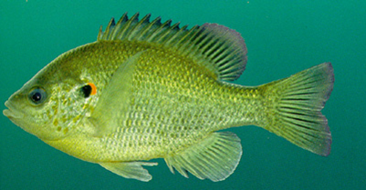 RedearSunfish